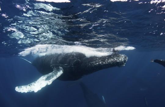 Dominikanische Republik: Buckelwalschau
