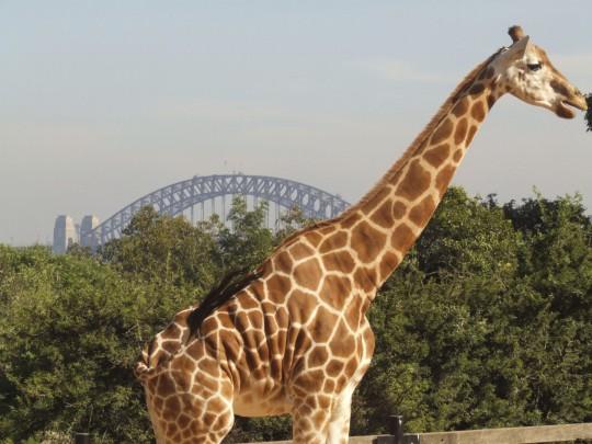 Sydney: Giraffe