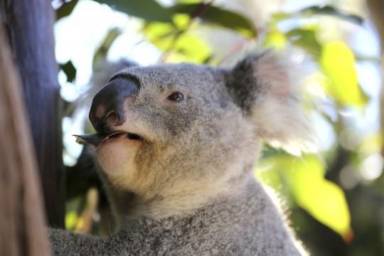 Sydney: Koala