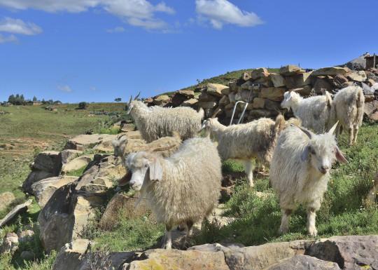 Lesotho: Ziegenherde