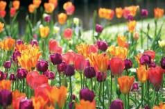 Niederlande: Tulpenpracht