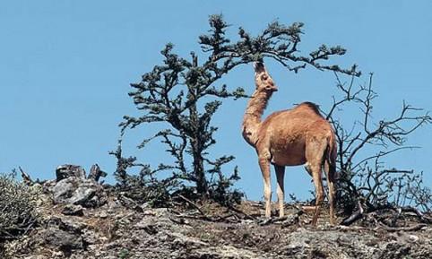Oman: Dromeda beim Äsen