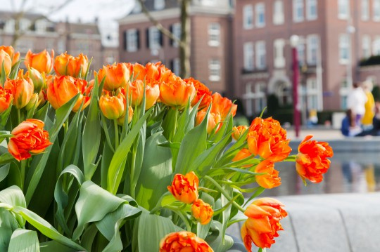 Amsterdam: Blumenbeet mit roten und gelben Tulpen
