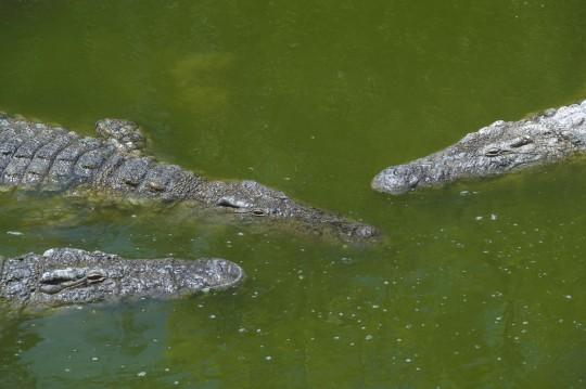 Djerba: Krokodilfarm