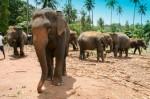 Elefantenwaisenhaus in Pinnawela