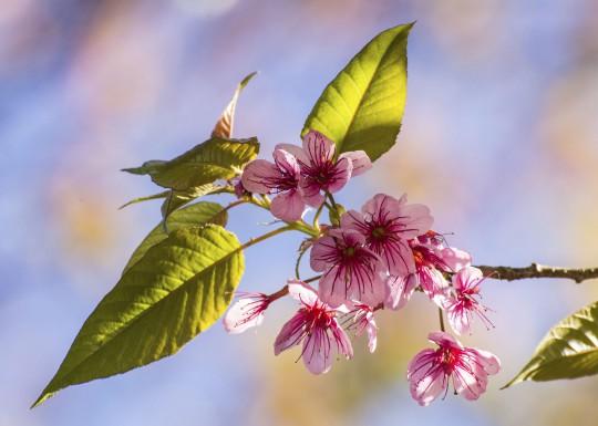 Nordthailand: Wild Himalayan Cherry flower