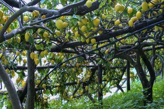Kampanien & Amalfi-Küste: Zitronenhain in Ravello