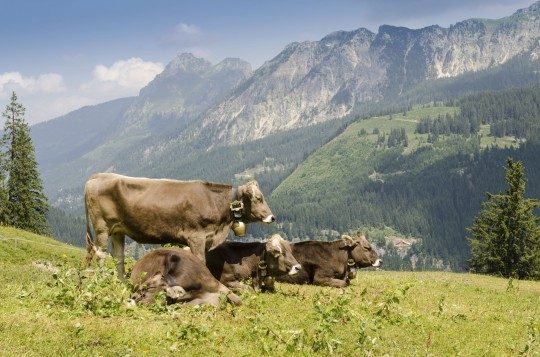 Allgäu: Weidewirtschaft