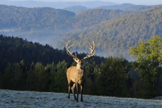 Bayerischer Wald: Hirsch