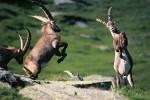 Nationalpark Hohe Tauern: Revierkampf der Steinböcke