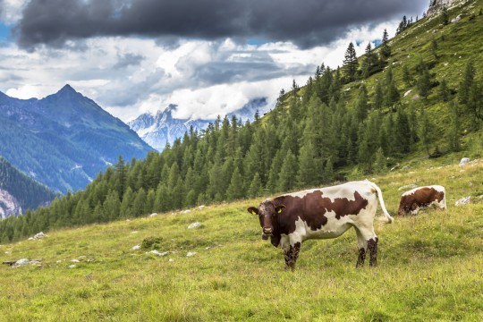 Osttirol: Kühe