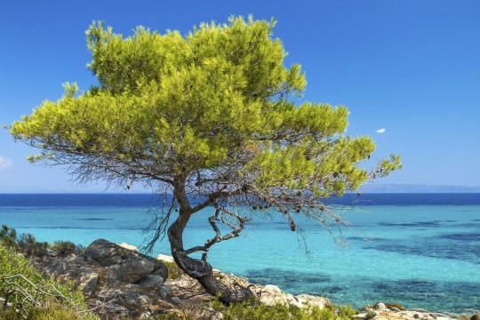 Chalkidiki: Baum