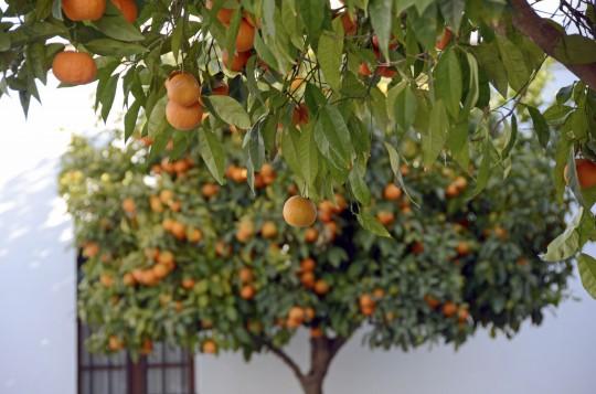 Costa del Sol: Orangenbaum