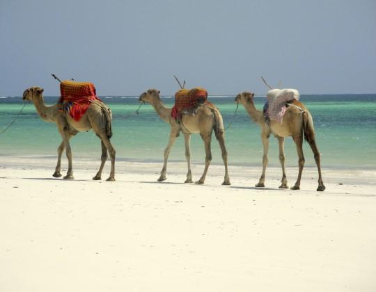 Kenianische Küste: Kamelkarawane