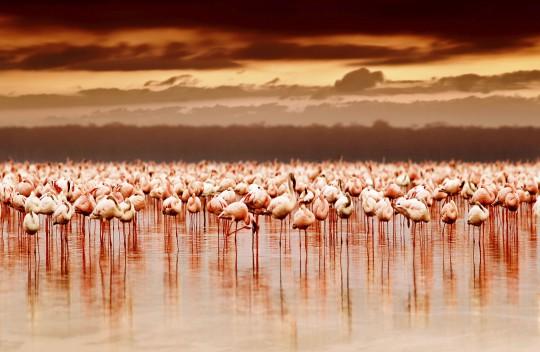 Kenianische Küste: Flamingos