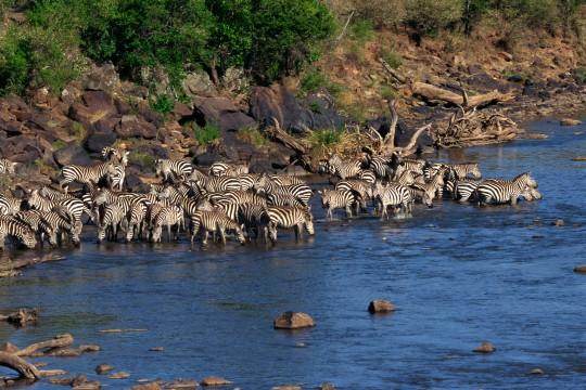 Kenianische Küste: Zebras