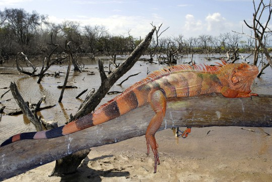 Isla Margarita: Eidechse
