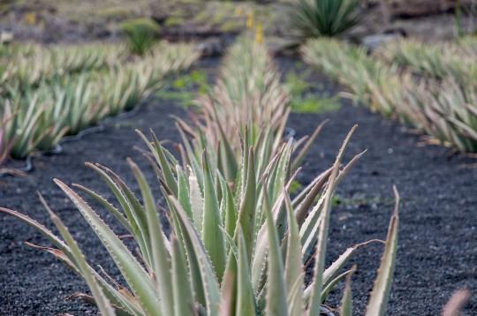 Lanzarote: Aloepflanzen