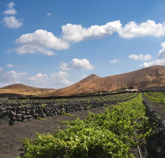 Lanzarote: La Geria