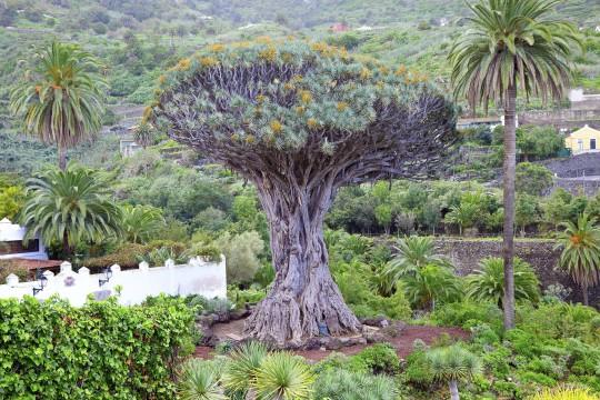 Teneriffa: Drachenbaum