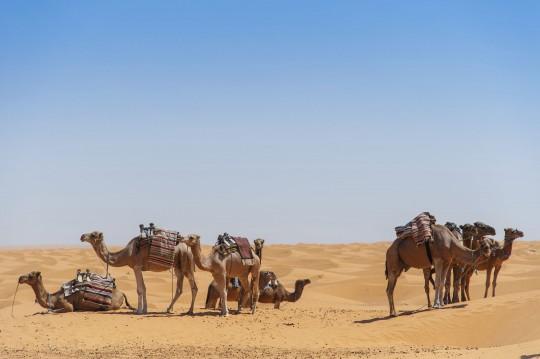 Djerba: Kamele